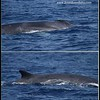 Fin Whale in 2 parts, Whale Watching trip, San Diego County, California, August 2015