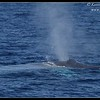Blue Whale, Whale Watching trip, San Diego County, California, August 2015