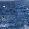 Common Dolphins acrobatics hit & miss, Whale Watching trip, San Diego County, California, August 2015