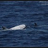 Risso's Dolphins, Whale Watching trip, San Diego County, California, August 2015