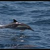 Common Dolphin, Whale Watching trip, San Diego County; California, June 2016