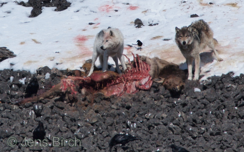 A pair of wolves (the white is female and the grey is male) scavenging from a carcass,of an elk calf (killed the previous night by a puma (mountain lion)). Yellowstone February 2010