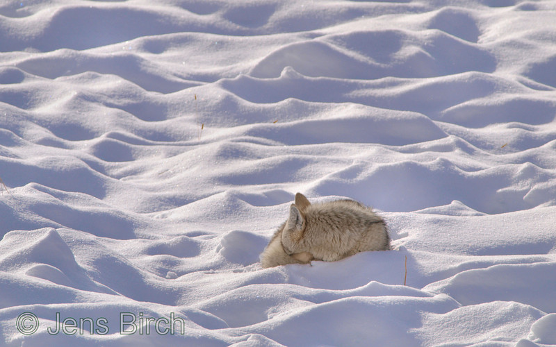 A <b>coyote</b> (<i>Canis latrans</i>) taking an afternoon nap in one of the 'furrows', created by the bisons in their search for grass under the snow, a perfect doghole. Yellowstone, February 2010.