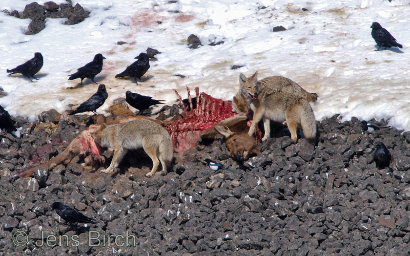 Three coyotes scavenging from a carcass,of an elk calf (killed the previous night by a puma (mountain lion)). Yellowstone February 2010