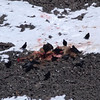A video showing some of the interaction between <b>bald eagles</b> (<i>Haliaeetus leucocephalus</i>) and <b>coyotes</b> (<i>Canis latrans</i>) at carcass of an elk calf (killed by a mountain lion (puma)).