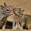 A family of californian ground squirrel. La Jolla, April