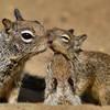 A family of californian ground squirrel. La Jolla, April
