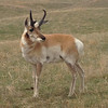 Pronghorn (Antilocapra americana) Custer SP, ND