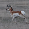 Pronghorn (Antilocapra americana) near Bowman ND
