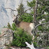 Bighorn Sheep (Ovis canadensis) Yellowstone NP, WY