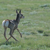 Pronghorn (Antilocapra americana) fawn, near Rhame ND