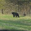 Black Bear (Ursus americanus) Riding Mountain Provincial Park, Manitoba, Canada