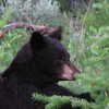 Black Bear (Ursus americanus) Yellowstone NP, WY