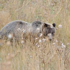 Grizzly Bear (Ursa arctos horribilis) Bridger-Teton National Forest WY