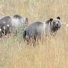 Grizzly Bear (Ursa arctos horribilis) Bridger-Teton National Forest WY