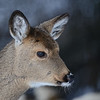 Whitetail Deer  (Odocoileus virginianus) St. Louis Co. MN