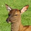 Elk (Cervus canadensis) calf, Yellowstone NP, WY