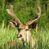 Mule Deer (Odocoileus hemionus) Yellowstone NP, WY