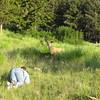 Mike Vossler stalking Mule Deer (Odocoileus hemionus) Yellowstone NP, WY