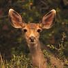 Mule Deer (Odocoileus hemionus)  Colorado Springs, CO