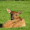 Elk (Cervus canadensis) calf,Yellowstone NP, WY