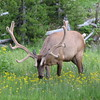Elk (Cervus canadensis)  Yellowstone NP, WY
