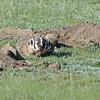 Badger (Taxidea taxus)  Rhame Prairie, Rhame ND