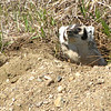 Badger (Taxidea taxus)  Long Lake NWR, ND