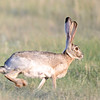 Black-tailed Jackrabbit (Lepus californicus) Alpine TX