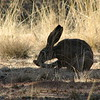 Black-tailed Jackrabbit (Lepus californicus) Santa Rita Mountains, AZ
