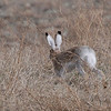 White-tailed Jackrabbit (Lepus townsendii) Bowman ND