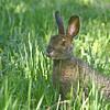 Snowshoe Hare (Lepus americanus) Sax-Zim bog, St. Louis Co. MN