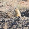Gunnison's Prairie Dog (Cynomys gunnisoni) Monticello UT