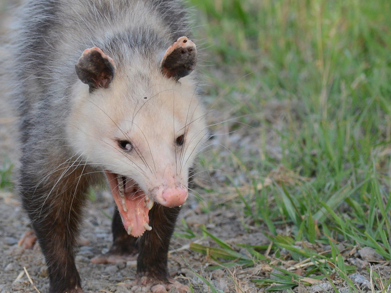 Virginia opossum (Didelphis virginiana) Bear Island WMA, Green Pond SC