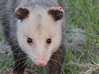 Virginia Opossum and Nine-banded Armadillo
