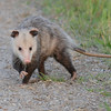 Virginia opossum (Didelphis virginiana) Bear Island WMA, Green Pond SC