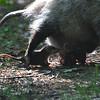 Virginia opossum (Didelphis virginiana) with babies, Chippewa Nature Center, Midland MI