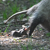 Virginia opossum (Didelphis virginiana) with babies, Chippewa Nature Center, Midland MI