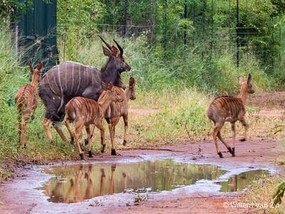 20190406 Nyala (Tragelaphus angasii) near Thabazimbi, Limpopo