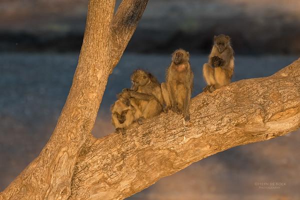Chacma Baboon, Mashatu GR, Botswana, May 2017-2
