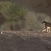 Chacma Baboon, Mashatu GR, Botswana, May 2017-1