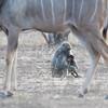 Chacma Baboon & Greater Kudu, Mashatu GR, Botswana, May 2017-1