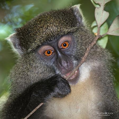 Samango Monkey, Hluhluwe-Imfolozi NP, KZN, SA, Jan 2014-1