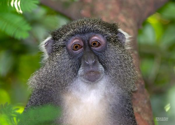 Samango Monkey, Hluhluwe-Imfolozi NP, KZN, SA, Jan 2014-2