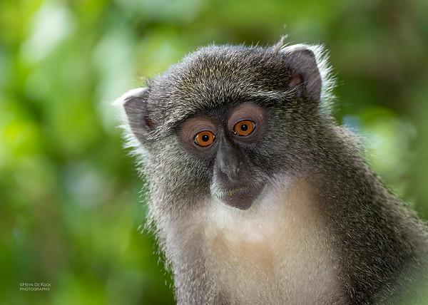 Samango Monkey, b&w, Hluhluwe-Imfolozi NP, KZN, SA, Jan 2014-4