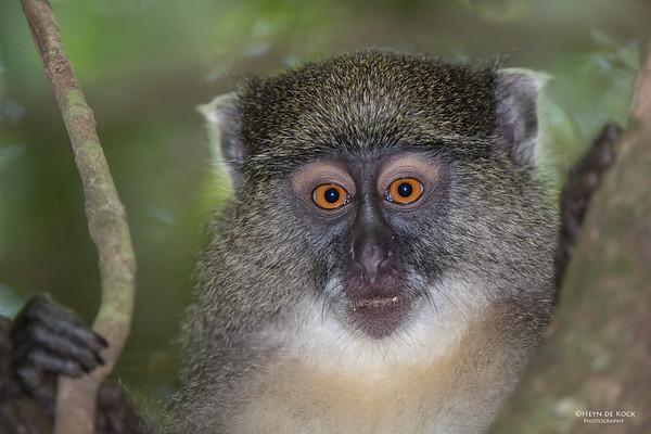 Samango Monkey, Hluhluwe-Imfolozi NP, KZN, SA, Jan 2014
