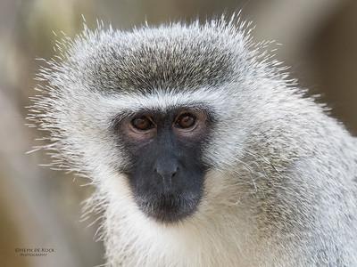 Vervet Monkey, Phinda, KZN, SA, Oct 2016-1