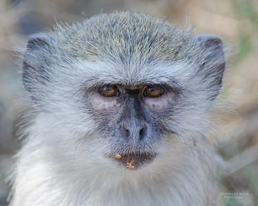 Vervet Monkey, Mahango NP, Namibia, July 2011