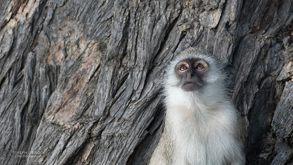 Vervet Monkey, Savuti, Chobe NP, Botswana, May 2017-1