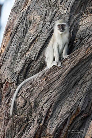 Vervet Monkey, Savuti, Chobe NP, Botswana, May 2017-3